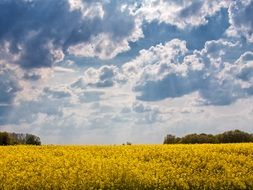 yellow field of rapeseeds cloud sky view