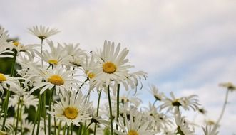 field of snow-white daisies