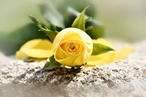 cutted yellow rose on stone