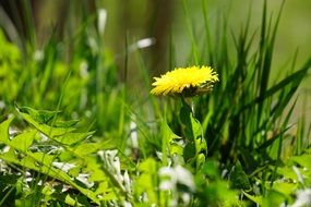 yellow dandelion in green grass