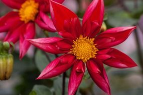 bud dahlias in the form of a star