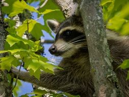 raccoon tree