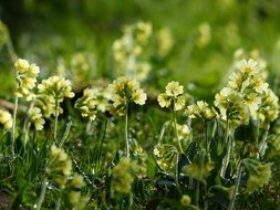 bright yellow primroses in spring
