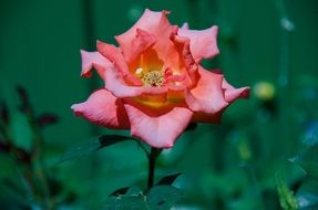 pink rose flower bloom