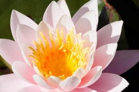 Pale pink water lily with a yellow core