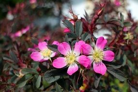 blooming wild rose in spring