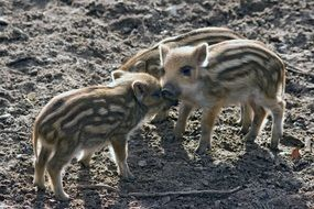little wild boars