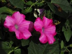 petunia flower blossom bloom pink