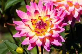 Bright pink dahlia closeup