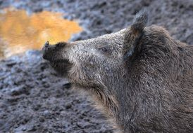 Profile portrait of the cute and colorful boar in the forest