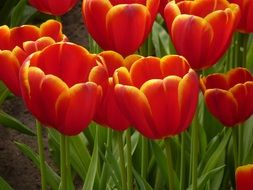 red tulips in Netherlands
