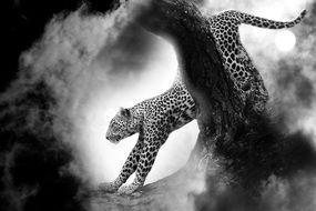 black and white photo of a predatory leopard