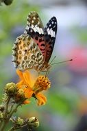 spotted butterfly on an orange flower