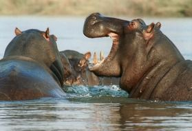 hippos in a river in africa