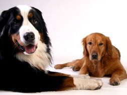 golden retriever and bernese mountain dog on a white surface