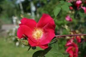 burgundy wild rose flower