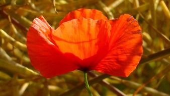 poppy is a summer wildflower