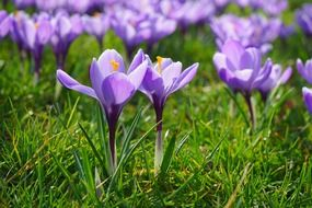 Purple crocuses on a green glade