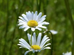 white daisy spring flower