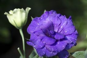 purple bloom with water drops