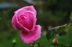 filigreed pink garden rose