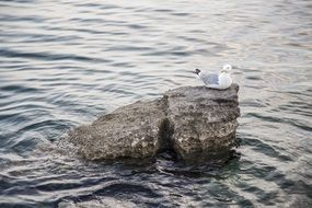 seagull on a rock in the sea water