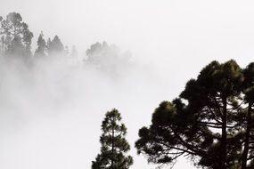 pine trees in mysterious fog