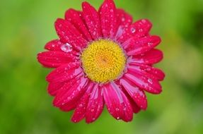 Bright pink daisy in droplets of water