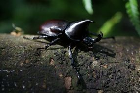 Macro picture of rhinoceros beetle