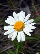 White daisy with a yellow core
