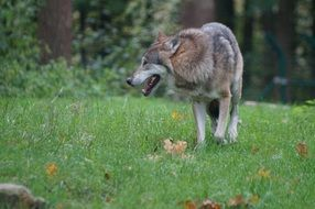 wolf walking on grass at forest