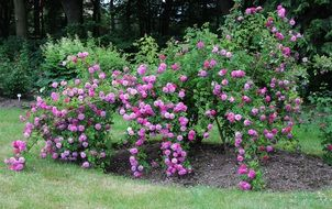 blooming rose bush in a park in Germany