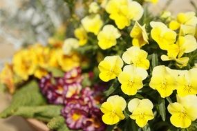 yellow pansy on flower bed