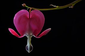 Pink bleeding heart flower blossomes
