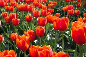 orange red tulips on a field in the Netherlands