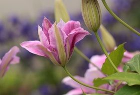 pink clematis blossom