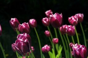 purple tulips reach for the light in spring
