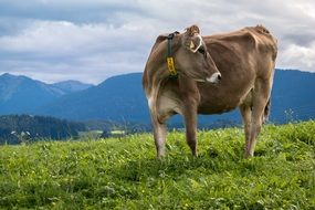 Alpine cow on a meadow