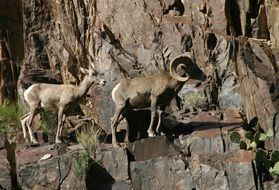 Ovis canadensis nelsoni or desert bighorn sheep