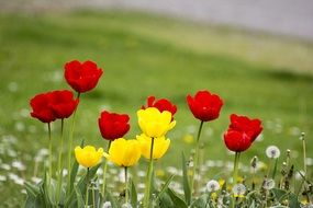 flowers tulips spring