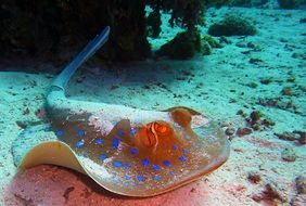 blue spotted stingray underwater