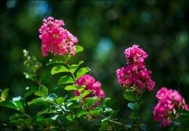flowering bush with pink flowers
