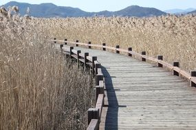 wooden pier among dry reeds