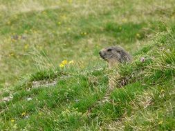 wild marmot in green grass portrait