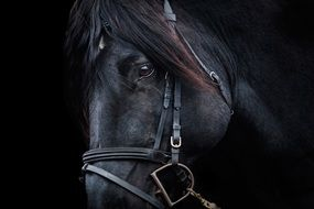 thoroughbred black stallion portrait