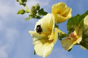 insect on yellow mallow on a sunny day
