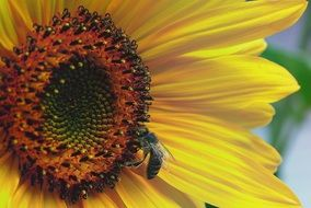 Picture of the small bee is on a sunflower