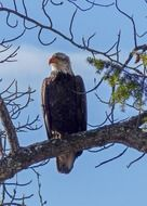 bald eagle big bird raptor