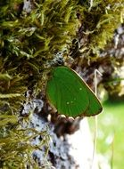 green butterfly in the wildlife