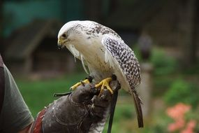 bird raptor falconry of prey on hand